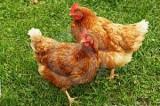 Una coppia di galline come compostiera che trasforma i rifiuti organici in uova