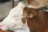 Giornata della vacca pezzata rossa alla fattoria Savoia di Tufara: degustazione di latticini e gelati