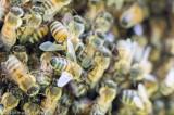 Superorganismo e coesione. Come la sciamatura consente una nuova famiglia di api. Foto e video