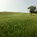 macchia-del-rovo-campo-d'orzo3
