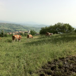 macchia-del-rovo-vacche-al-pascolo