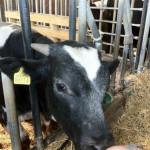macchia-del-rovo-vitello